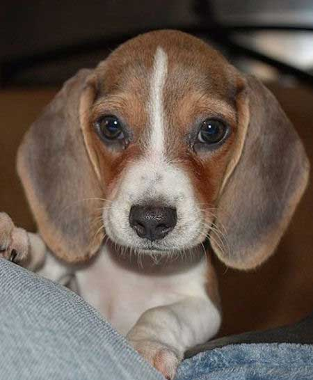 Beagle puppy showing off their big ears