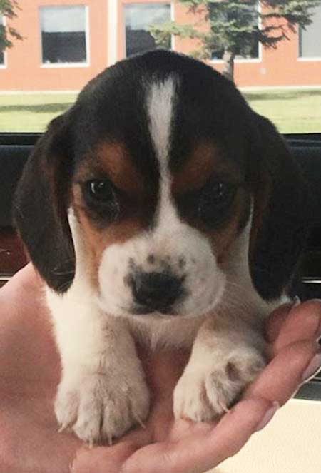 tiny beagle puppy in a hand