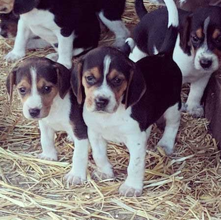 close up of a beagle litter