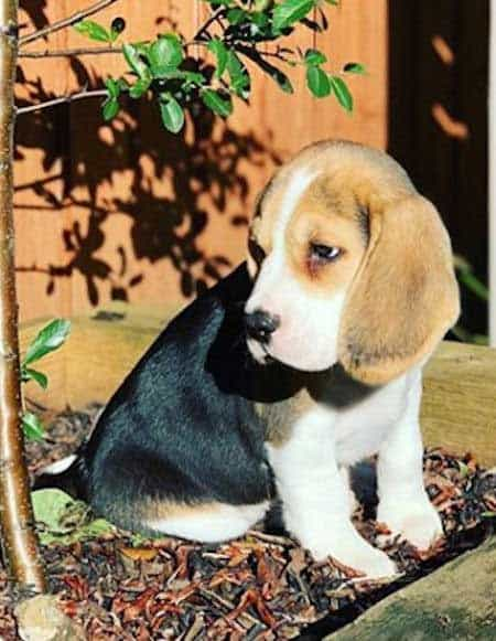 cute beagle pup sitting in a mulch bed