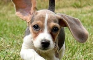 beagle puppy that wants to fly