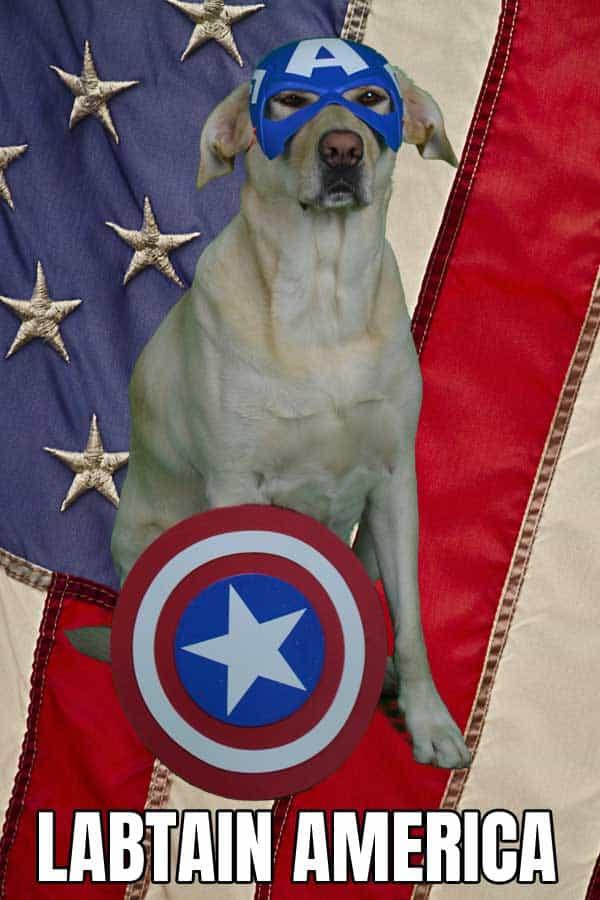 Labtain America, Yellow Labrador Retriever dressed up like Captain America