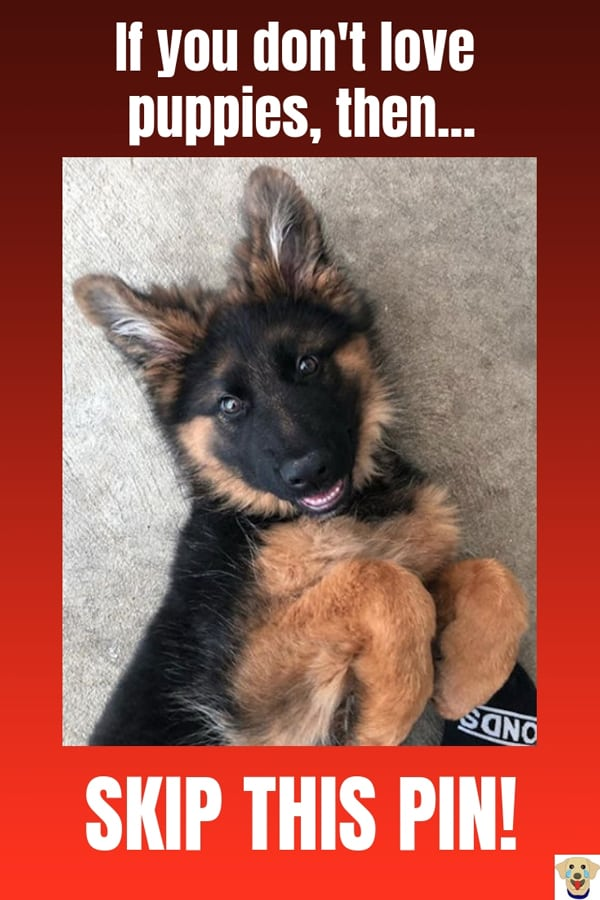 Awesome picture of a German Shepherd Puppy smiling.