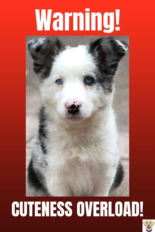 Cute puppy picture of a Border Collie with blue eyes