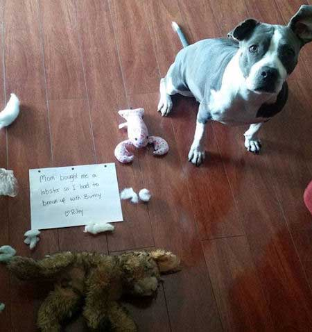 Dog shaming of a pooch that killed a stuffed bunny