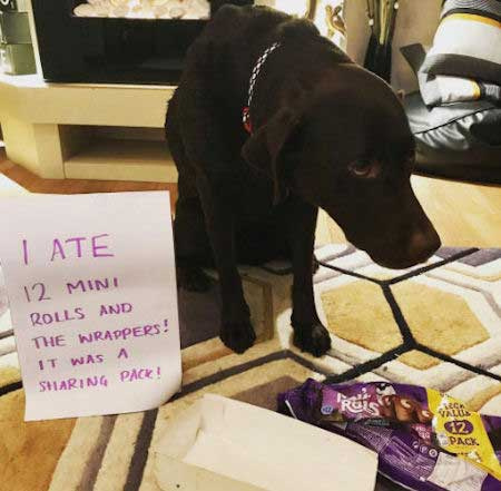 Chocolate Labrador getting shamed for eating the bag of rolls
