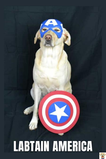 Cali the yellow lab dressed up as Labtain America