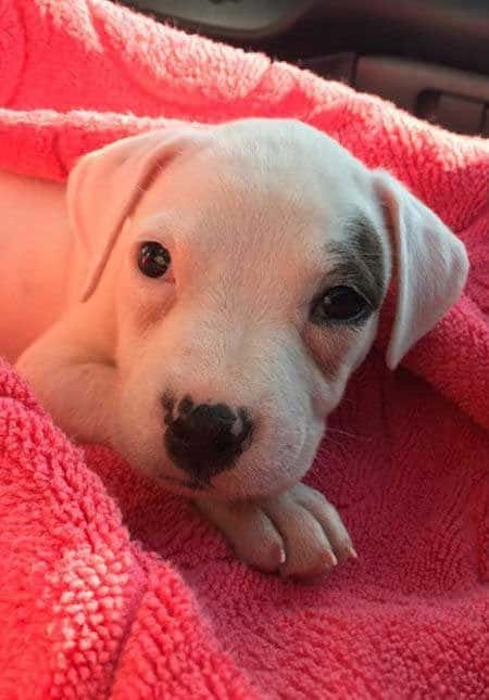 puppy pit bull laying in a pick blanket