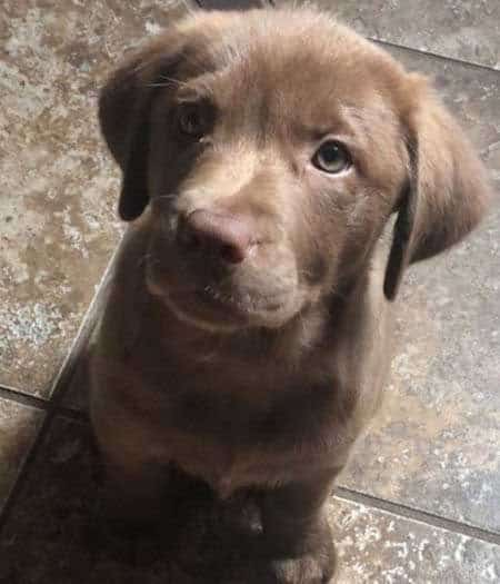 Chocolate lab puppy begging for food