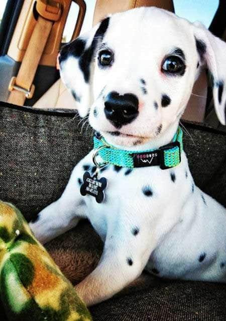 Dalmatian Puppy pushing up