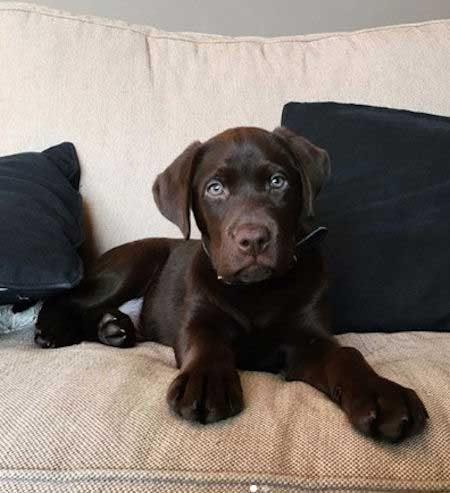 Chocolate Labrador Retriever puppy sitting on the sofa
