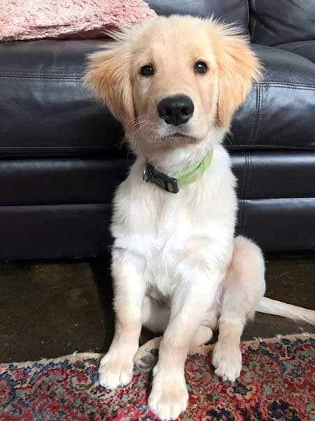Awesome Golden Retriever puppy