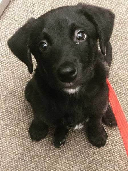 Cute little black puppy staring at the camera