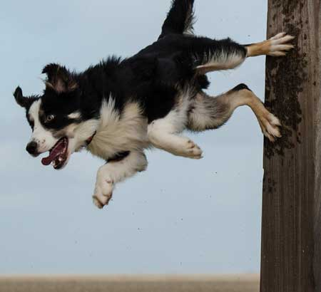 Collie jumping off a wall