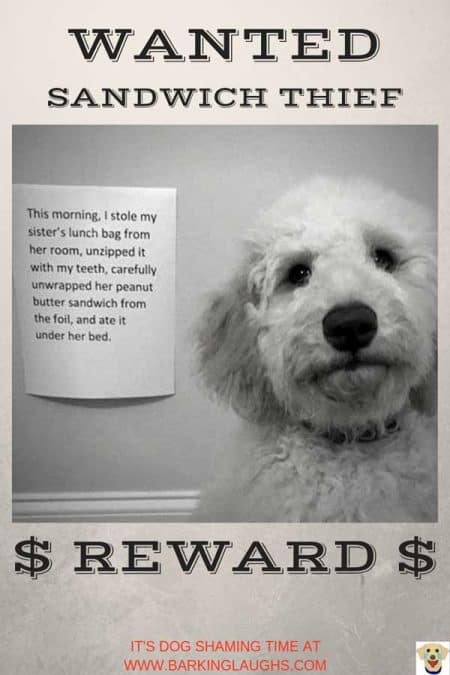 Funny dog shaming picture of a Goldendoodle