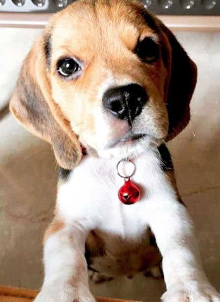 Beagle Puppy starring at he camera