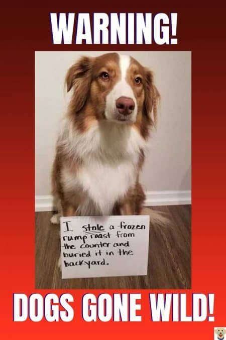 Funny dogshaming picture of a rump roast thief