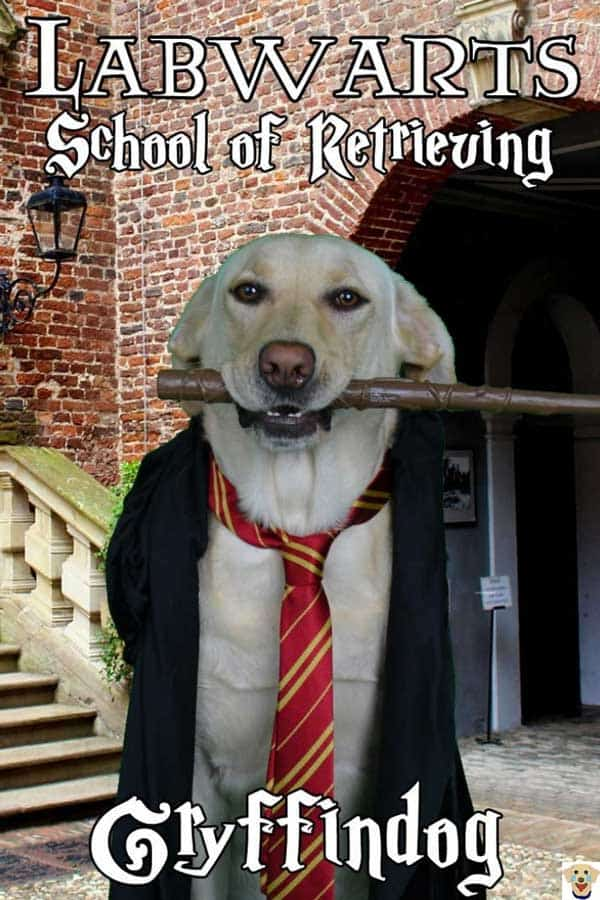 Gryffindog Labrador Retriever dressed up in a Halloween Dog Costume from Labwarts a spoof from Harry Potter