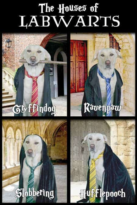 Labrador Retriever dressed up in a Halloween Dog Costume from Labwarts a spoof from Harry Potter