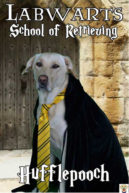 Hufflepooch Labrador Retriever dressed up in a Halloween Dog Costume from Labwarts a spoof from Harry Potter