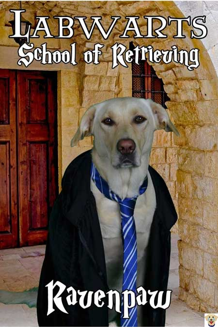 Ravenpaw Labrador Retriever dressed up in a Halloween Dog Costume from Labwarts a spoof from Harry Potter