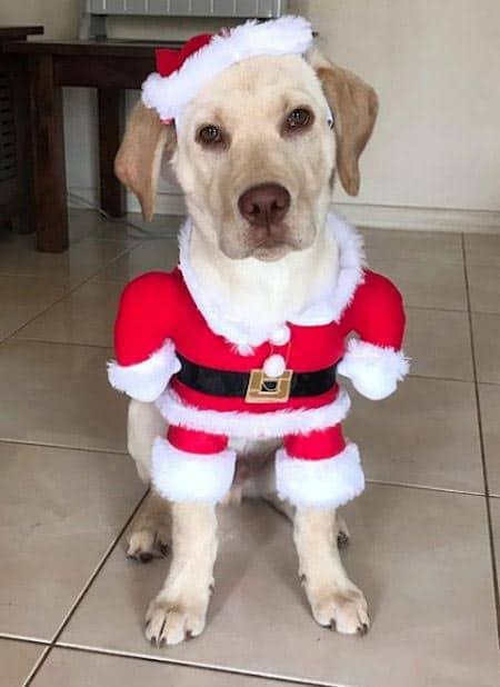 labrador puppy dressed up like santa paws