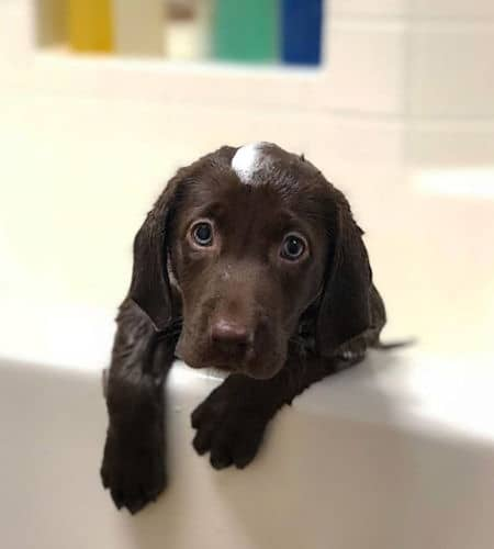 chocolate Labrador puppy trying to get out of the bathtub