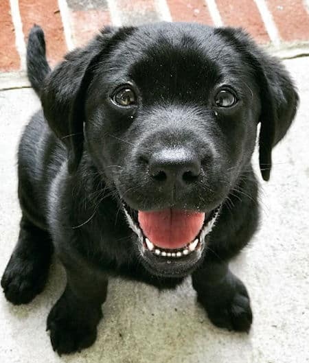 Black lab Puppy with the biggest smile on their face
