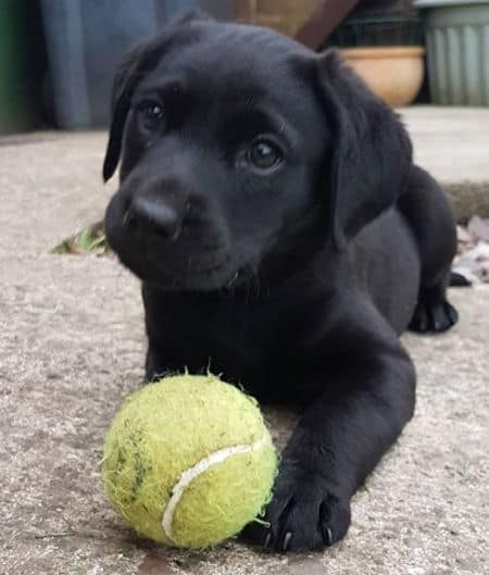 Black lab puppy playing with a tennis ball