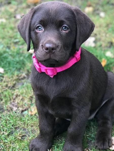 little chocolate lab puppy with a pink collar