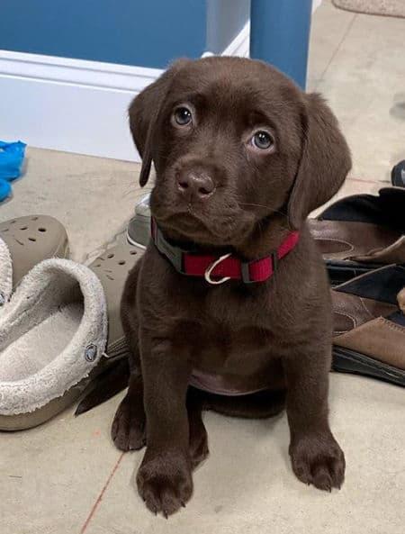 cute little chocolate Labrador puppy