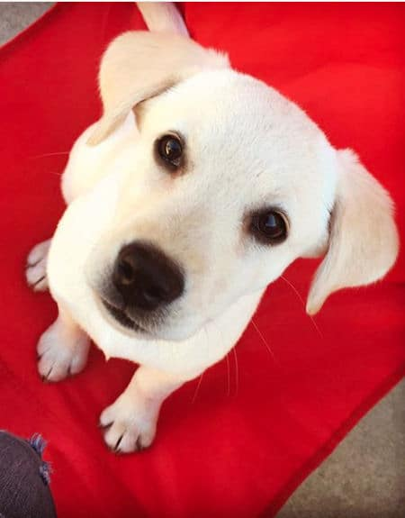 yellow lab puppy sitting and looking up
