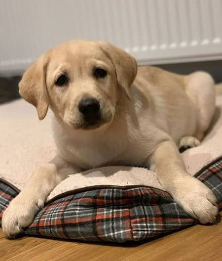 yellow lab pup laying on a dog bed