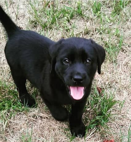 little cut black lab puppy smiling for the camera