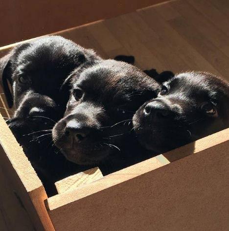 3 Labrador puppies in a box