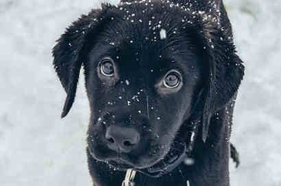 Cute black lab puppy in the snow