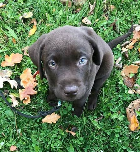 Chocolate Lab puppy on the grass