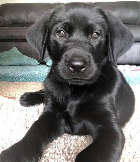 Black Lab puppy laying on the rug
