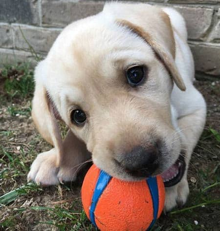 yellow Labrador puppy chewing on a ball
