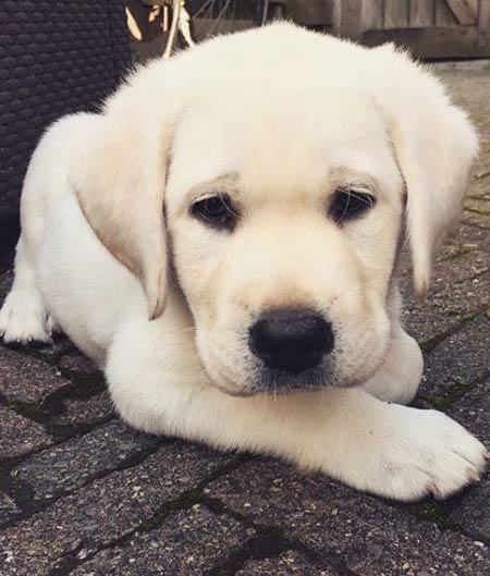 Yellow Labrador puppy laying outside