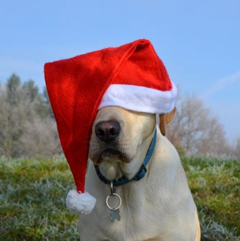 yellow lab with santa clause hat