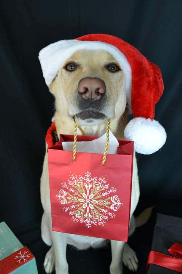 Yellow Lab in Santa Hat presenting a holiday gift
