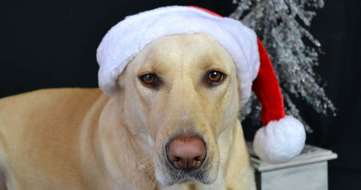 yellow lab in a santa hat