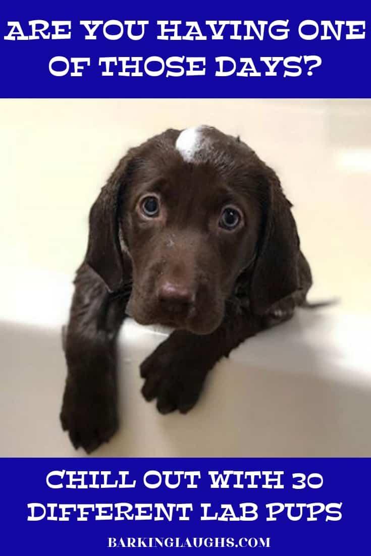 A Chocolate lab puppy in the bathtub
