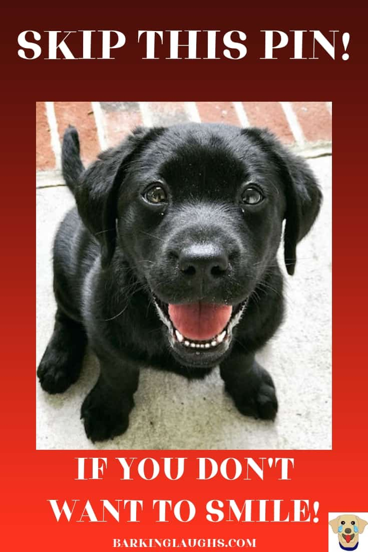 A smiling black Labrador Puppy