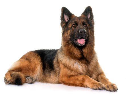 awesome GSD sitting up