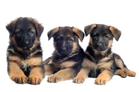 3 cute GSD puppies