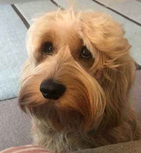 Little Cockapoo with a cute look on their face