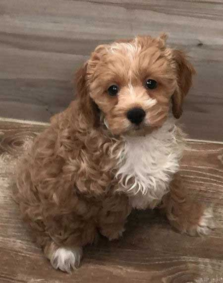 gold and white cute cockapoo