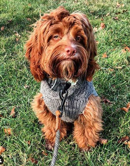 Awesome picture of a red cockapoo